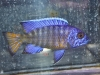 Cichlids-for-Sale-WN01-Aulonocara-Flametail