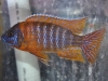 Cichlids-for-Sale-WN03-Aulonocara-Ruby-Red