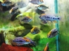 Freshwater-Fish-for-Sale-NJ-WN03-2