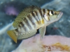 Freshwater-Fish-for-Sale-NJ-WN03-Altolamprologus