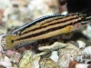 Freshwater-Fish-for-Sale-NJ-WN06-1