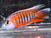 Freshwater-Fish-for-Sale-NJ-WN_04