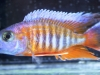 Freshwater-Fish-for-Sale-NJ-WN_05