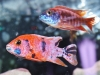 Freshwater-Fish-for-Sale-WN07-2