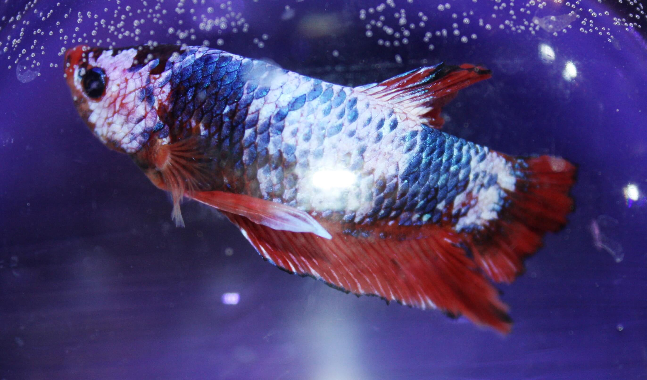 Freshwater-Fish-for-Sale-WN-17
