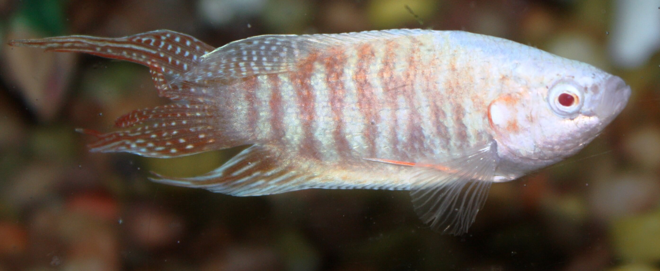 Freshwater-Fish-for-Sale-WN-26