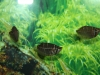 chocolate-gourami