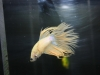 crowntail-betta