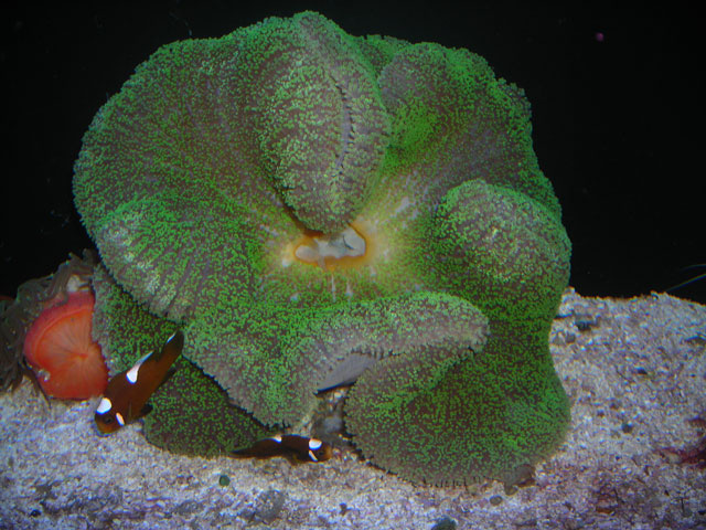 Absolutely Fish Photo Gallery Anemones