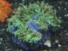 Anemone for Sale Absolutely Fish NJ - Purple Base Bubbletip