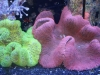 Coral for Sale Absolutely Fish NJ - Carpet Anemone
