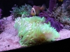 Neon Green Long Tentacle Anemone