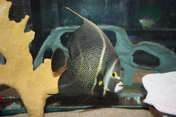 Marine Angel Fish for Sale: French Angel