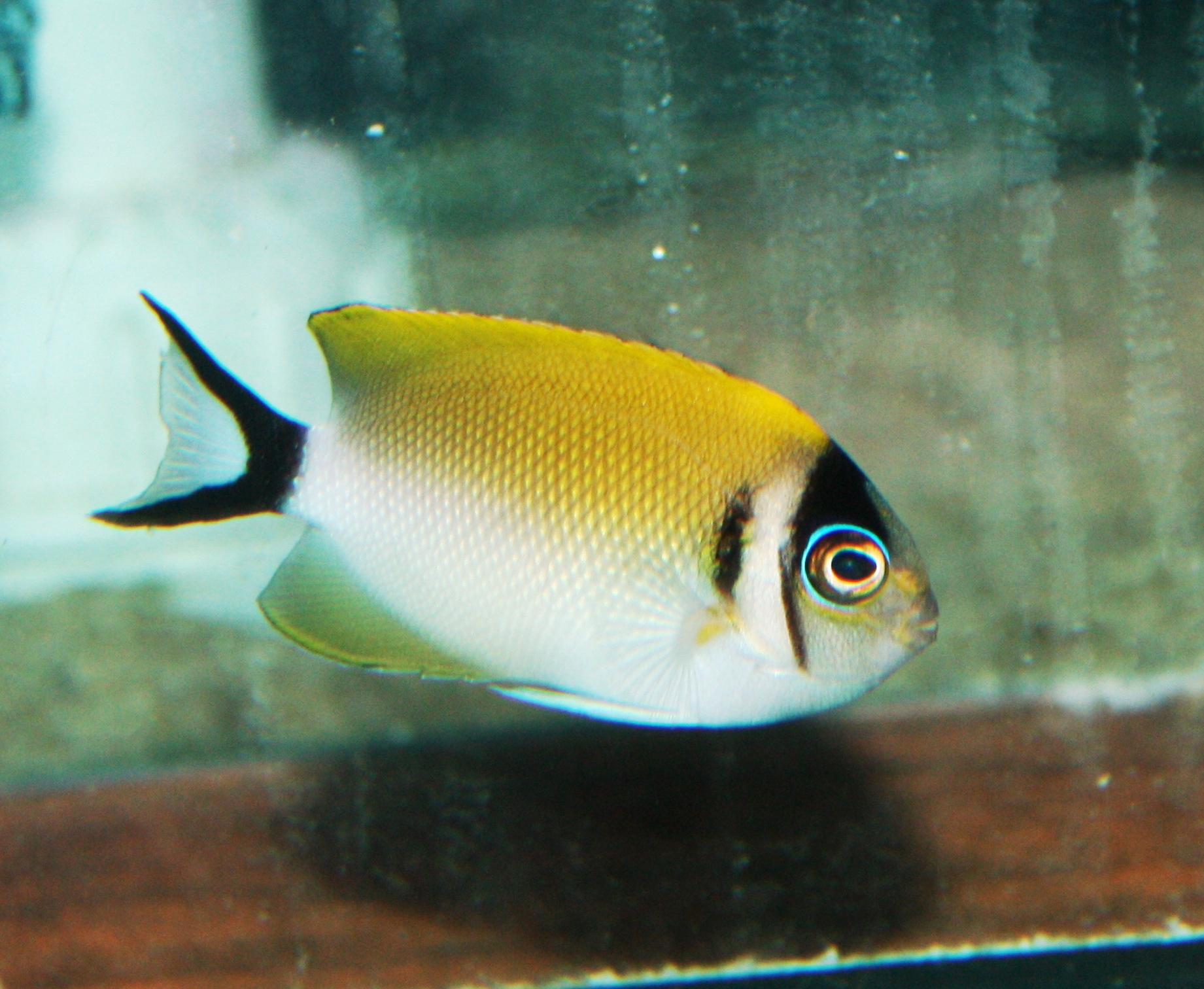 absolutely fish photo gallery   angelfish