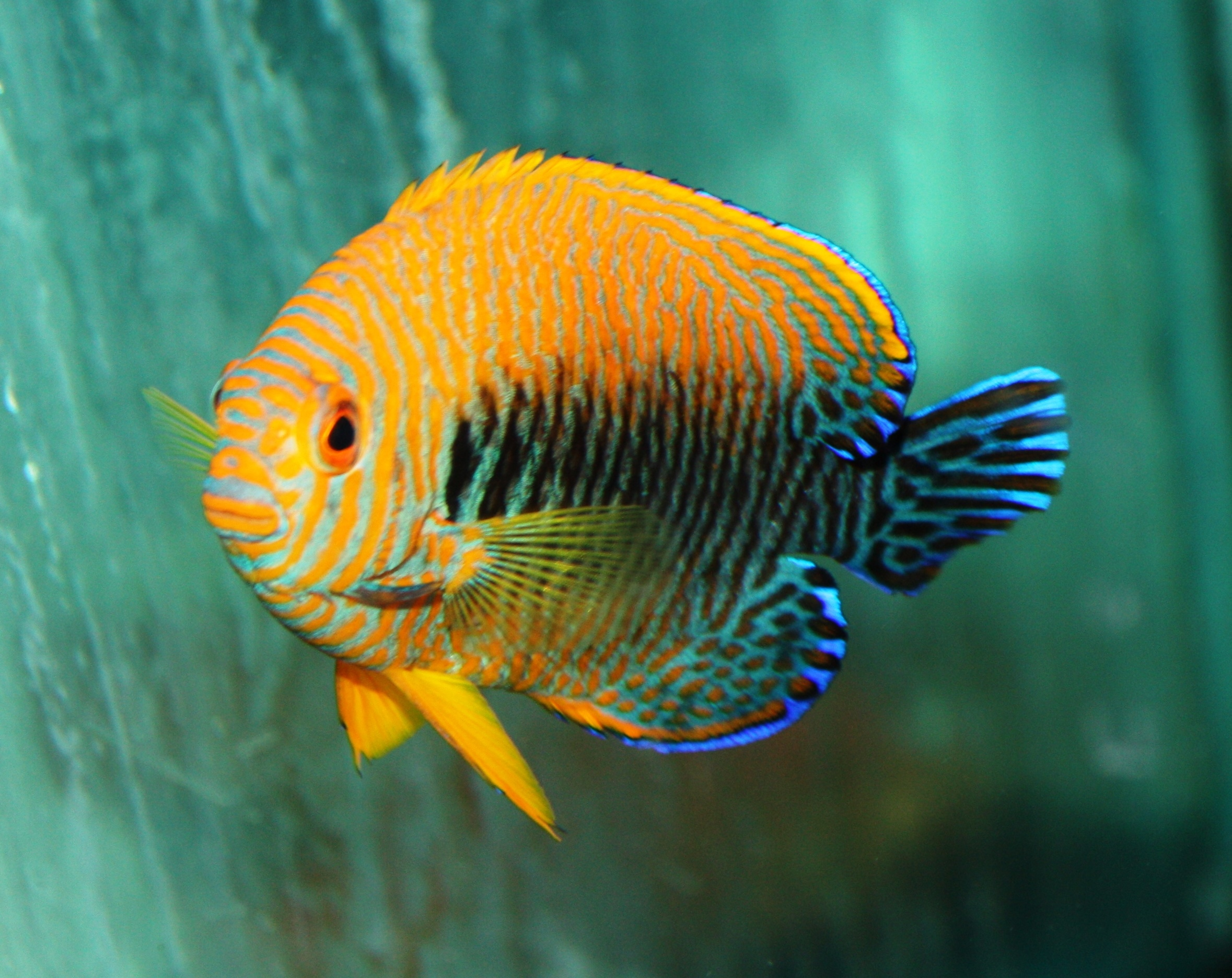 Homes For Sale By Owner >> Absolutely Fish Photo Gallery - Angelfish