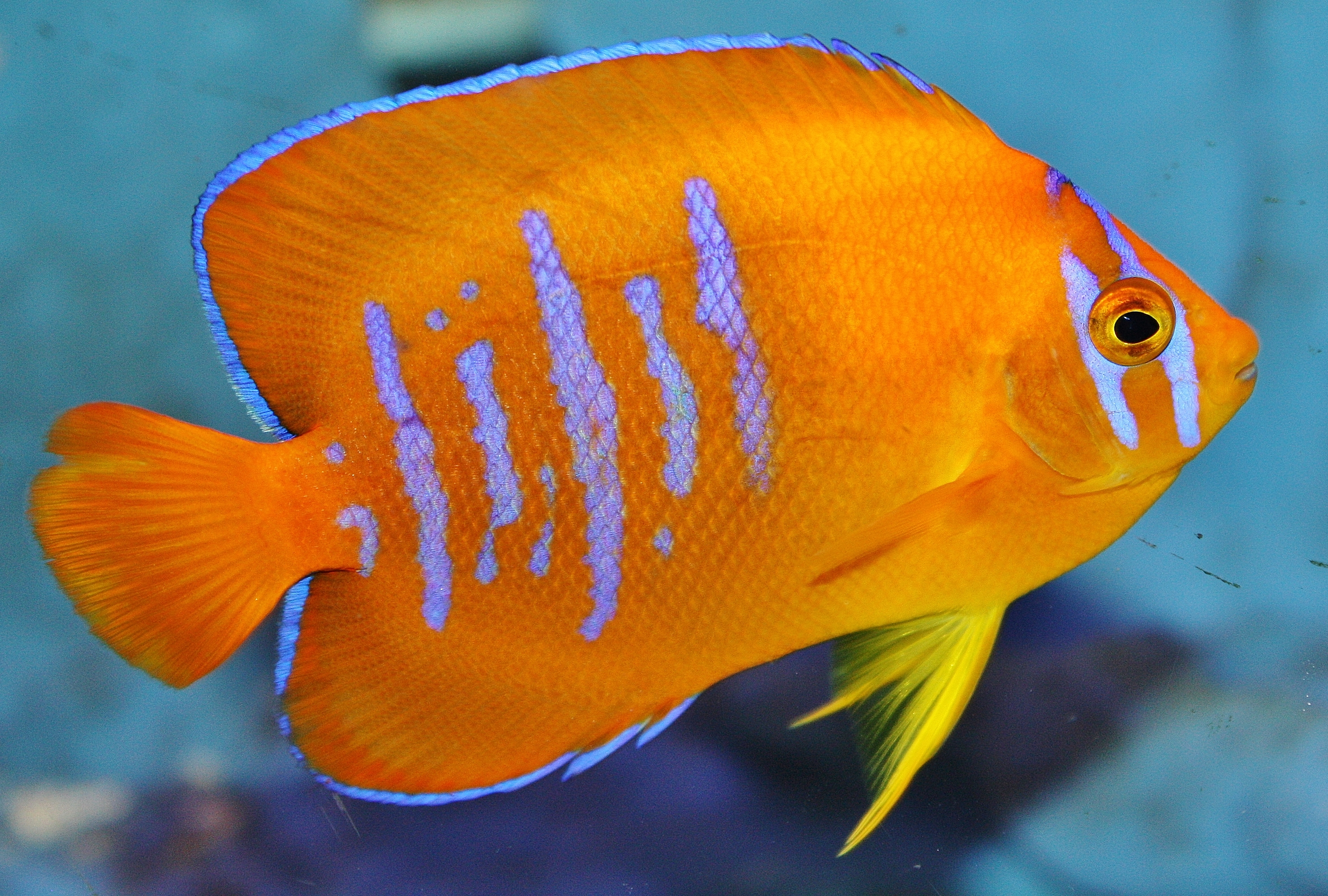 Absolutely fish photo gallery angelfish for Fish to buy