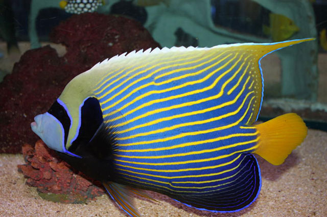 Saltwater Angel Fish for Sale: Imperator Angel
