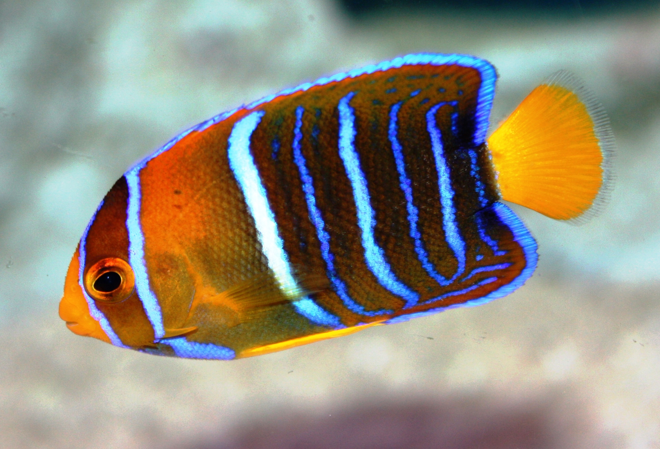 Saltwater Angel Fish for Sale: Passers Angel