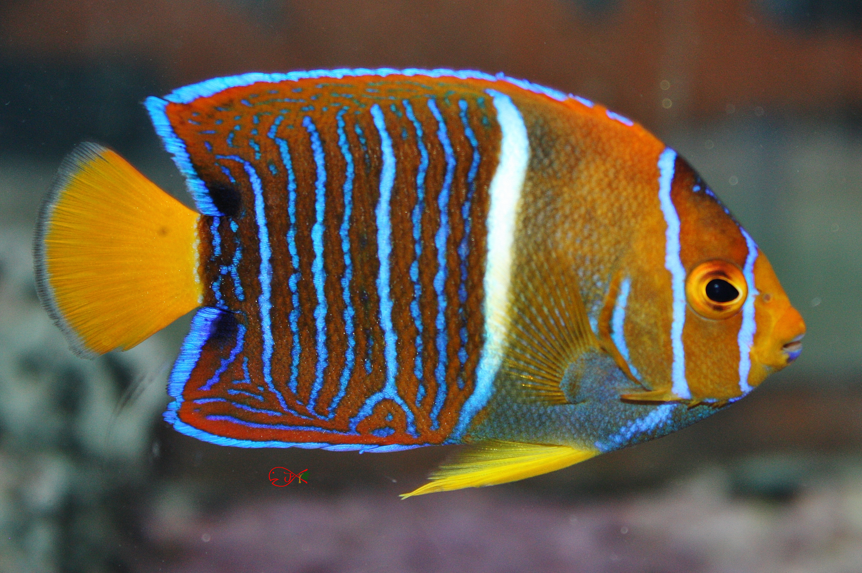 Angel Fish for Sale: Passers Angel