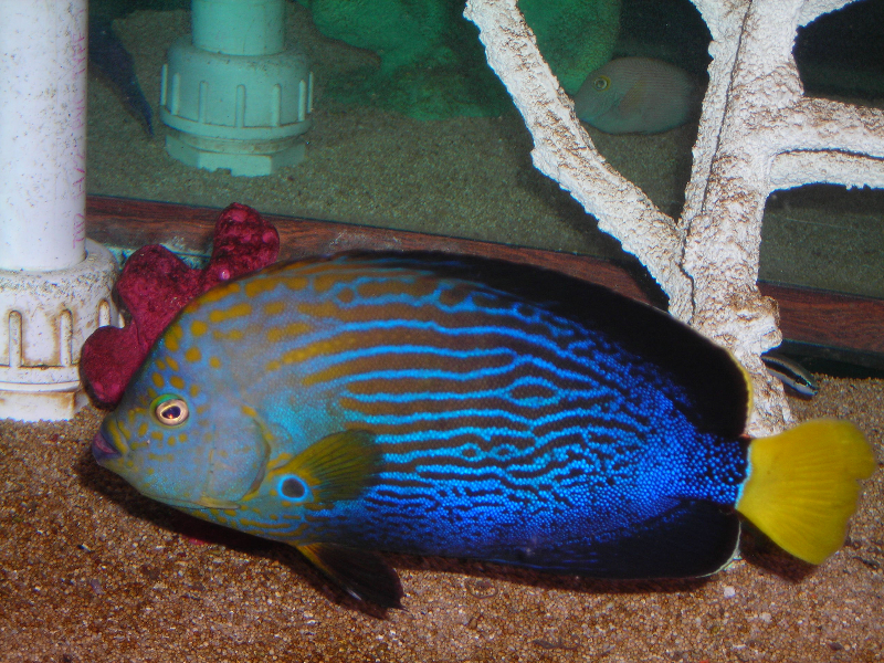 Absolutely Fish Photo Gallery - Angelfish