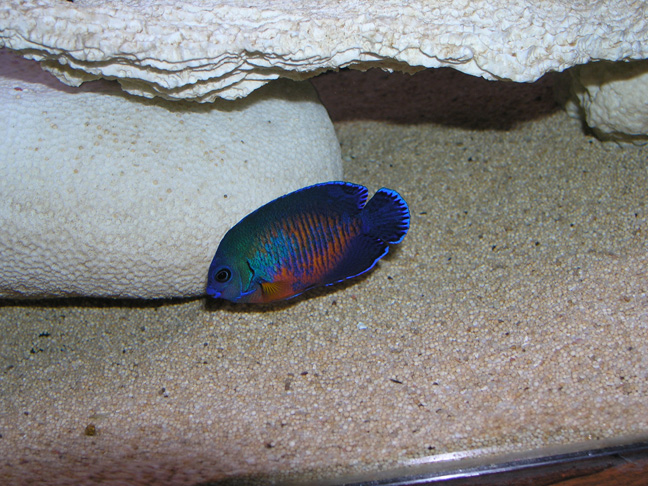 Marine Angel Fish for Sale: Coral Beauty