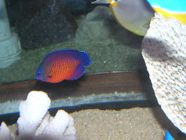 Saltwater Angel Fish to Buy: Coral Beauty