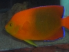 Marine Angel Fish for Sale: Clarion Angel