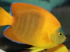 Saltwater Angel Fish to Buy: Clarion Angel