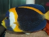 Marine Angel Fish for Sale: Scribble Angel - Male