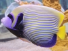 Angel Fish to Buy: Imperator Angel