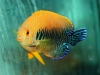 Marine Angel Fish for Sale: Potters Angel