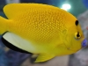 Marine Angel Fish for Sale: Flagfin Angel