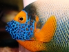 Marine Angel Fish for Sale: Blue Face Angel