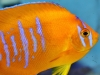 Marine Angel Fish to Buy: Clarion Angel - Aquacultured