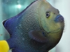 Saltwater Fish for Sale Absolutely Fish NJ - Blue Dot Poma Angel