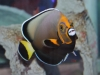 Angel Fish for Sale: Conspicillatus Angel