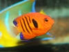 Saltwater Fish for Sale Absolutely Fish NJ - Flame Angel