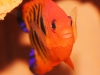 Saltwater Angel Fish to Buy: Flame Angel