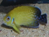 Marine Angel Fish to Buy: Abberant - Lemonpeel Variant