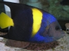 Marine Angel Fish to Buy: Asfur Angel