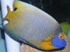 Saltwater Angel Fish to Buy: Blue Face Angel