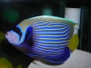 Marine Angel Fish for Sale: Imperator Angel