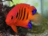 Marine Angel Fish for Sale: Flame Angel