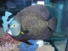 Marine Angel Fish to Buy: French Angel