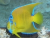 Marine Angel Fish for Sale: Queen Angel