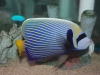 Marine Angel Fish to Buy: Imperator Angel