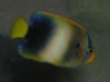 Marine Angel Fish for Sale: Africanus Angel - Subadult