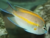 Marine Angel Fish to Buy: Bellus Angel - Male