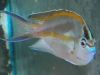 Marine Angel Fish for Sale: Bellus Angel - Male