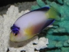 Marine Angel Fish for Sale: Multicolor Angel